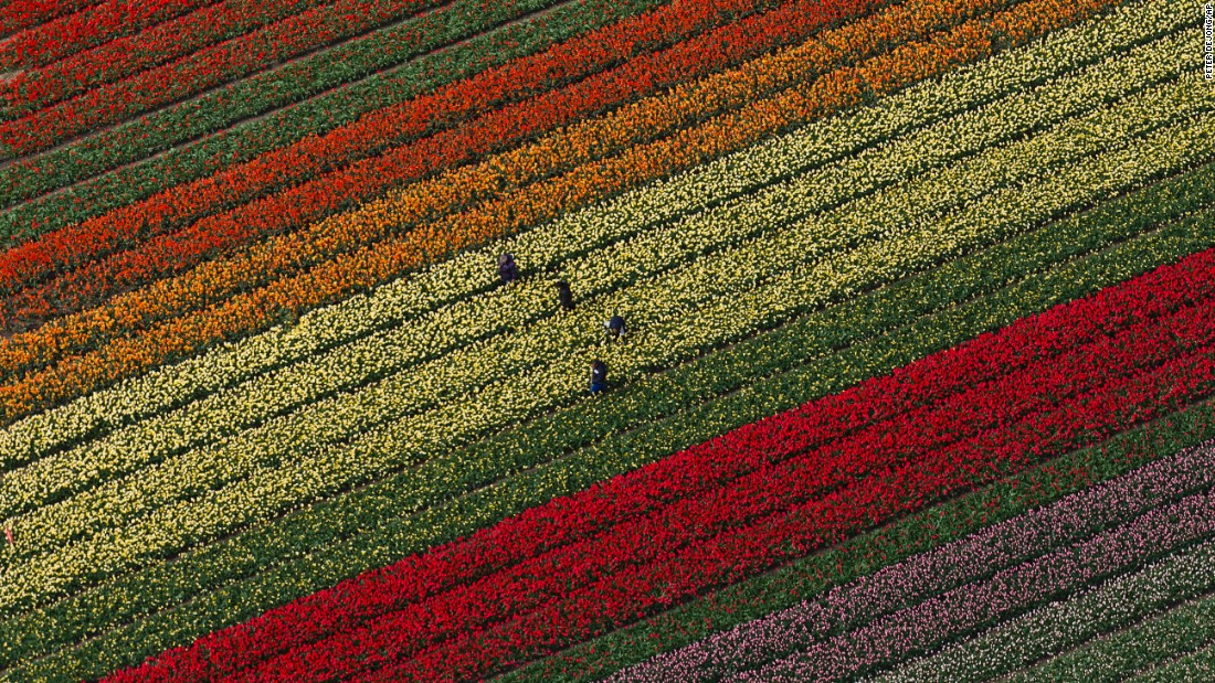 People tend to tulips at the Keukenhof flower garden in Lisse, Netherlands, on Wednesday, April 19. The garden is home to some 7 million spring-flowering bulbs, according to its website.