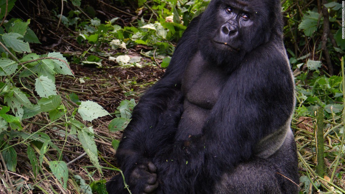 "Mountain gorillas share 98% of their DNA with humans but are critically endangered, due to shrinking habitats and poaching. There are less than 900 left in the world, in only three countries: DR Congo, Rwanda, and Uganda. Around a quarter live inside Virunga.<br /><br />""To get a baby gorilla you need to kill the whole family. The habitat is very reduced and put lots of pressure on the gorillas, so we need to do all that we can to protect them,"" says Rodrigue Katembo, director at Upemba National Park in southeastern Democratic Republic of Congo and 2017's Goldman Environmental Prize winner."