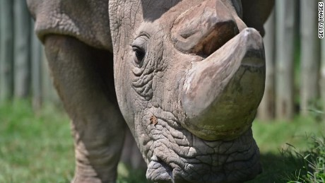 endangered rhino goes on tinder to find a mate holmes pkg_00014527.jpg