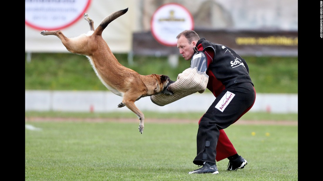 A Malinois dog competes at the Belgian Shepherd World Championships, which started in Halle, Germany, on Wednesday, April 26. Belgian shepherds are often employed by police forces worldwide.