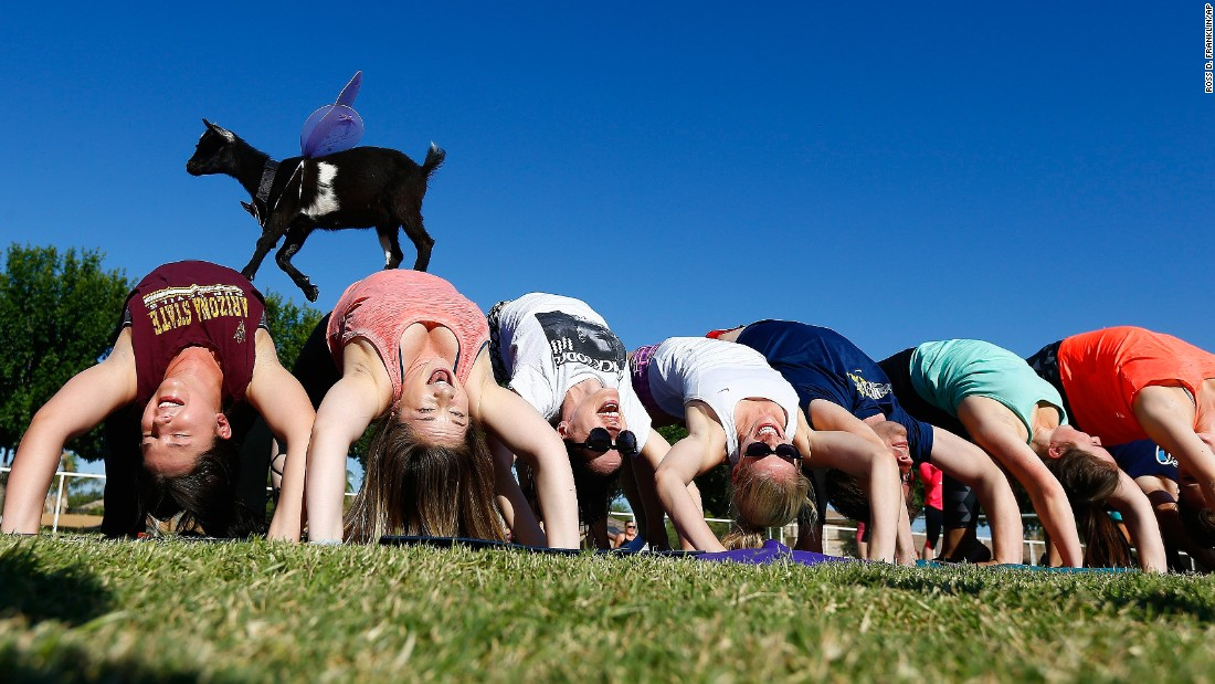Goat yoga participants try to stay in a yoga pose as a young goat walks over them at the Welcome Home Ranch in Arizona.