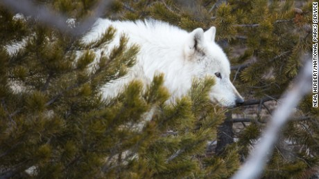 The National Park Service wants to know who shot a rare white wolf.