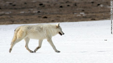 A rare white female wolf walks on snow in February 2015 at Yellowstone Park. The wolf was found last month by hikers, and a necropsy showed it was shot illegally.