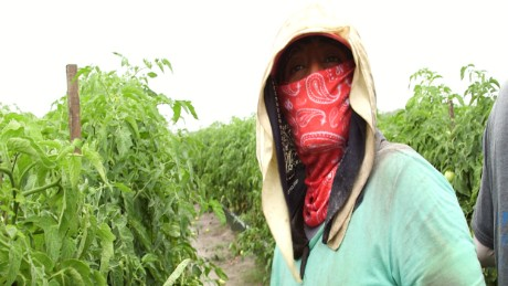 Farm worker Alejandrina Carrera works on a tomato farm in Immakolee, Florida.