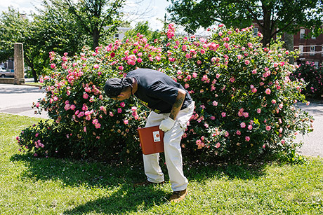 Teddy Hackett, a volunteer at McPherson Square Library, checks a rose bush for discarded drug needles.