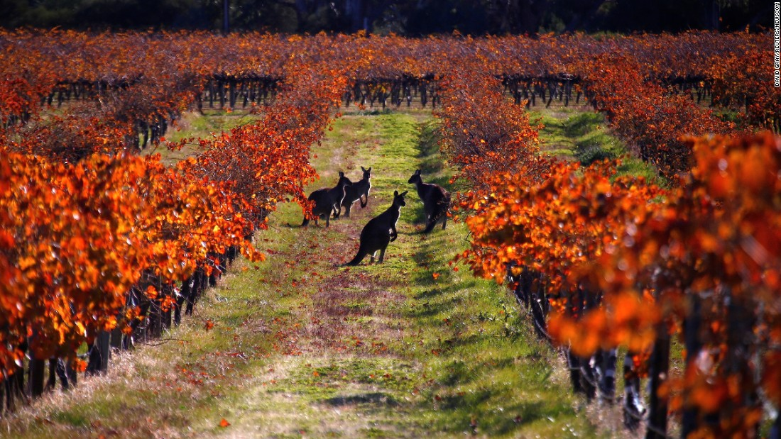 Kangaroos gather at a vineyard in Australia's Barossa Valley on Saturday, June 10.