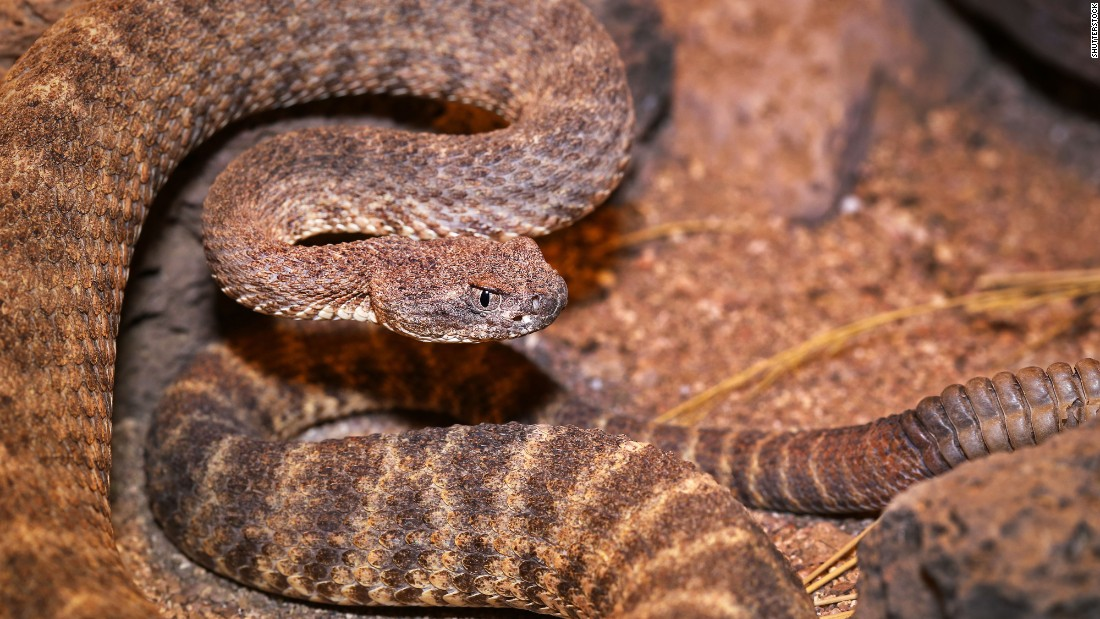 "The tiger rattlesnake (scientific name: <a href=""http://animaldiversity.org/accounts/Crotalus_tigris/"" target=""_blank"">Crotalus tigris</a>) ranges in length from from about 18 inches to 36 inches, with an average length of about two feet. Generally, its head is small and its rattle is long. Though relatively undersized for a rattlesnake, the tiger rattler carries the dubious distinction of being the most toxic of the American venomous snakes. Tiger rattlesnakes live in southern and central Arizona and the Gulf of California. These snakes commonly gorge on small mice and other small mammals, including rats and lizards."