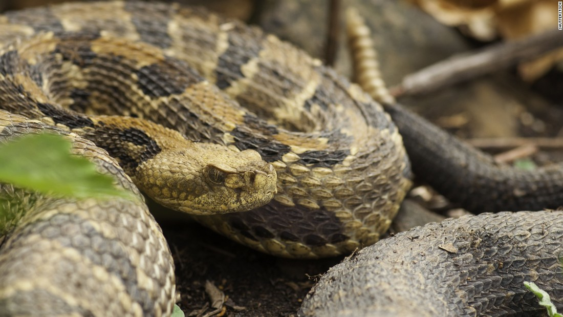 "Timber rattlesnakes (scientific name: <a href=""http://srelherp.uga.edu/snakes/crohor.htm"" target=""_blank"">Crotalus horridus</a>) possess characteristic rattles on the end of their tales and, fully grown, they range in length from 30 to 60 inches. The snake pictured here is a pregnant female. Generally, timber rattlesnakes can be found in the area of the United States extending from southern New Hampshire to northern Georgia and west to the southwestern portion of Wisconsin and northeastern portion of Texas. Timber rattlers can acclimate to a variety of habitats, including lowland thickets, high swamp areas, river floodplains, hardwood and pine forests, rural farming regions, and mountainous areas, particularly the Appalachian Mountains. Mostly these snakes feast on small rodents, including squirrels and rabbits."