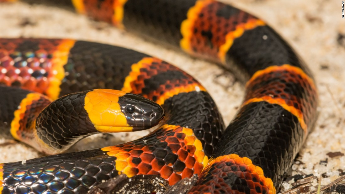 "Coral snakes (scientific name: <a href=""http://www.snake-removal.com/coral.html"" target=""_blank"">Micrurus</a>) come in both Eastern and Western varieties, with the former type pictured here.  At its longest, an adult may grow to 30 inches while maintaining a slender body. The Eastern coral is more common than the Western, but in their natural habitats of southeastern or southwestern United States, neither are seen very often. These snakes are naturally reclusive, emerging from their dens only rarely. Coral snakes feed on a diet of other reptiles and snakes (even other coral snakes), with the occasional frog thrown in."