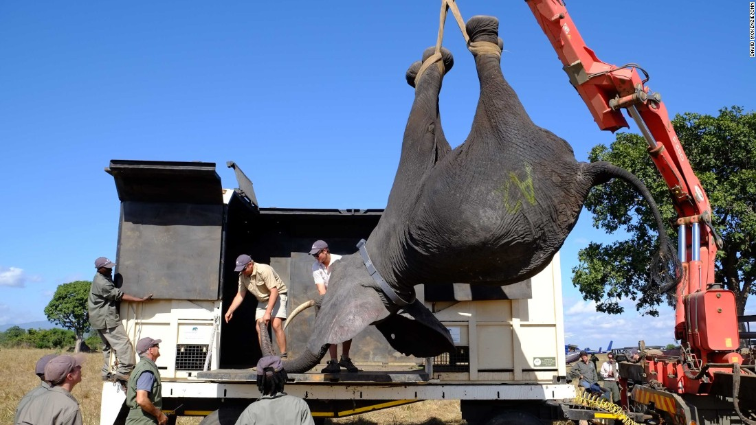 "A tranquilized elephant is lifted into a wake-up crate. The spray-painted letter on its side identifies its family group. ""They have very strong social bonds, so we use that to our advantage when we catch and load them,"" says Vickery."
