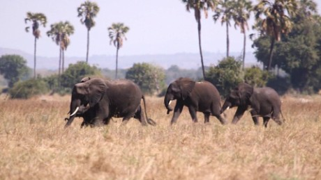 cnnee spanish pkg david mckenzie 500 elephants_00000718