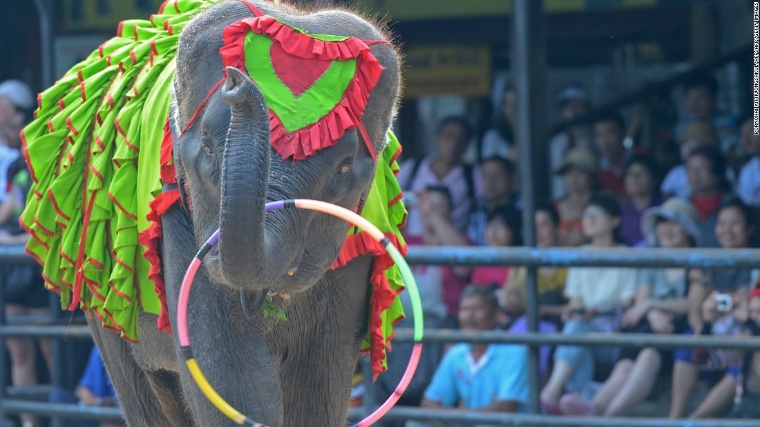 An elephant performs for tourists at a show in Pattaya, Thailand. Smuggling the world's largest land animal across an international border sounds like a mammoth undertaking, but activists say that doesn't stop traffickers supplying Asian elephants to Thai tourist attractions.