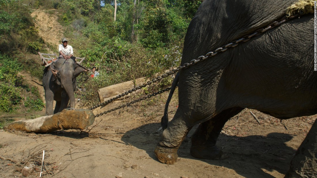 An elephant pulls a heavy log down a hill in an elephant logging camp in Myanmar.