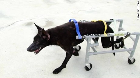 gbs wheelchairs for animals_00014522