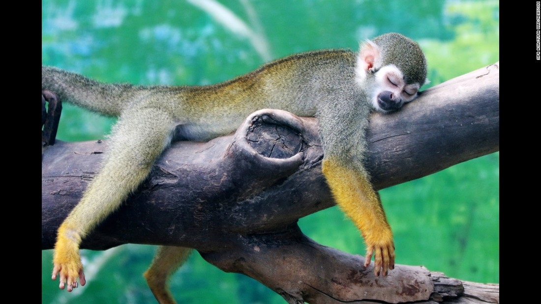 A squirrel monkey rests on a tree branch at a zoo in Zhengzhou, China, on Wednesday, July 19.