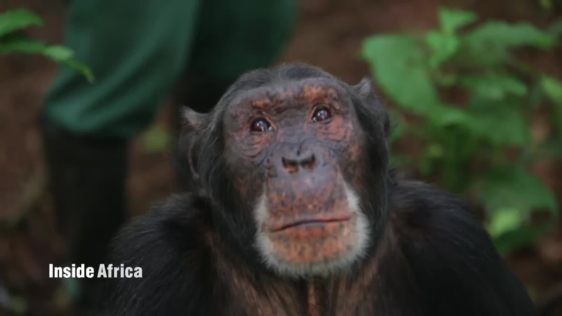 Ngamba, the island of the apes