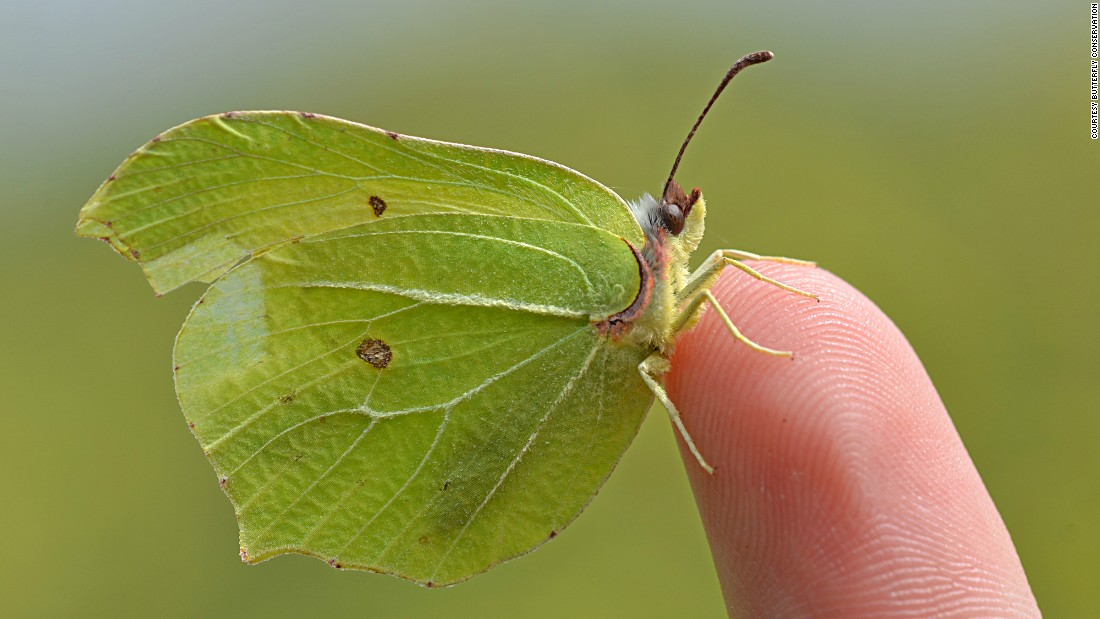 "There are 59 butterfly species in the UK. Some say the term 'butterfly' itself may originate from this very species, the Brimstone, which used to be called ""butter-colored fly"" by British naturalists."