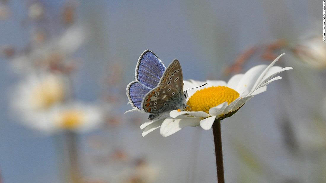 Butterflies act as an indicator for the wellbeing of a wider ecosystem and several other species of insects that are not as thoroughly examined, since butterflies are the most-studied insects in the UK.