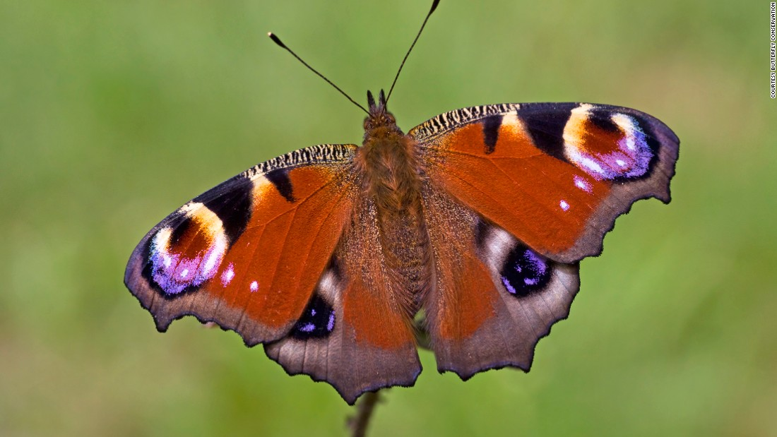 The loss is particularly evident in urban areas, where butterflies are disappearing more rapidly: a 69 percent fall compared to 45 percent in the countryside over the last 20 years.