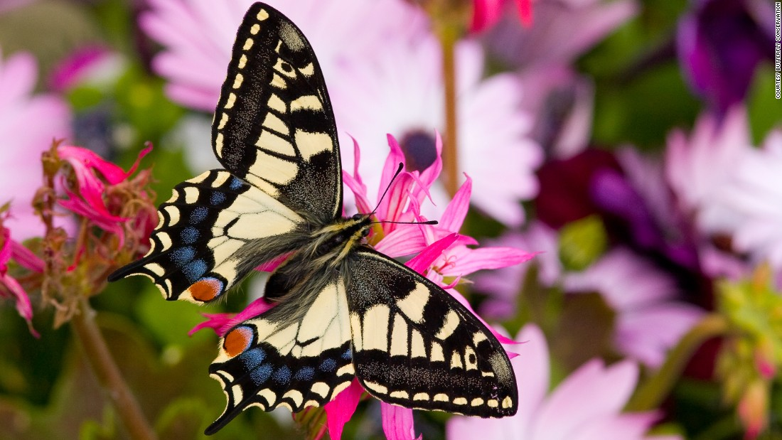 """If we get things right for butterflies, we get things right for the rest of the wildlife, too,"" says conservationist Dan Danahar."