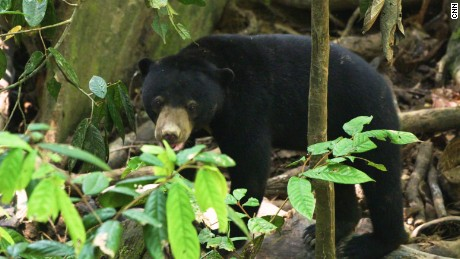 A sun bear explores the forest at the Bornean Sun Bear Conservation Centre.