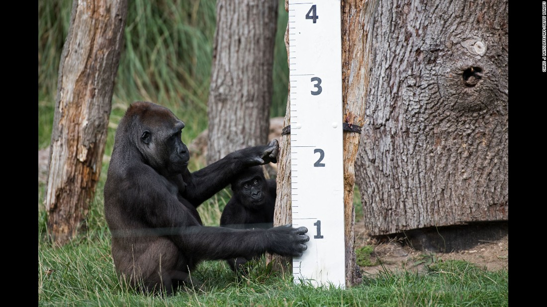 A gorilla named Mjukuu and her baby, Alika, check out a measuring stick at the London Zoo on Thursday, August 24. The zoo was measuring the height and weight of its animals.