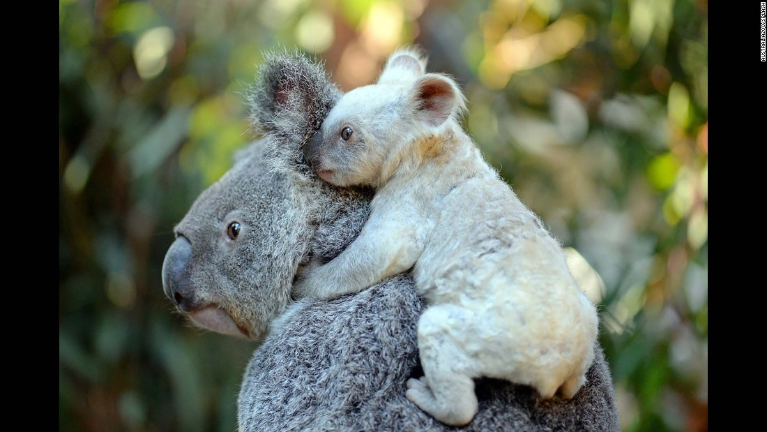 A rare white koala is carried by her mother at the Australia Zoo on Wednesday, August 23. The joey was born in January but has only recently emerged from her mother's pouch.