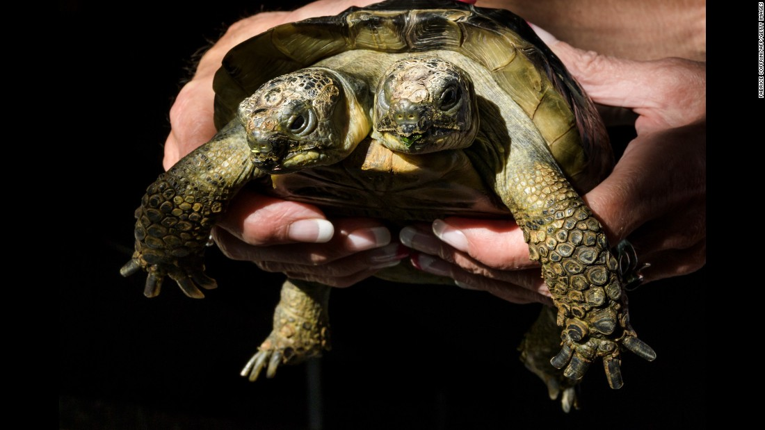 Janus, a two-headed Greek tortoise, is held on its 20th birthday on Sunday, September 3. Janus lives in Geneva, Switzerland, at the city's Natural History Museum.