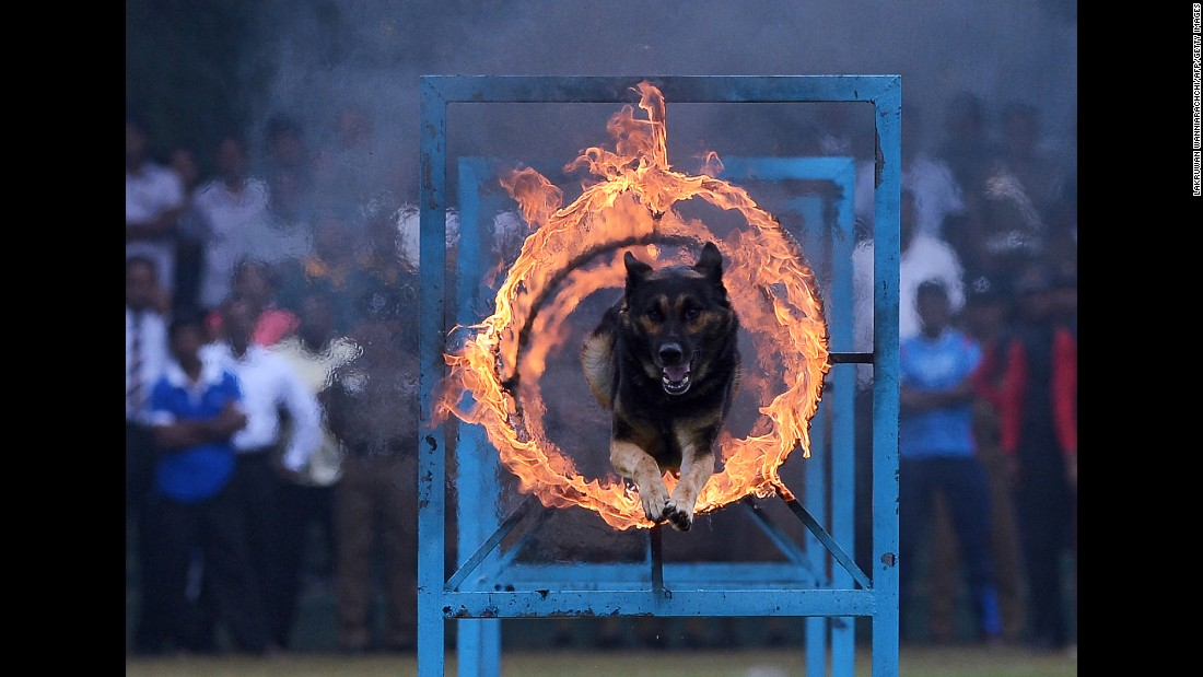 A police dog jumps through a ring of fire during a demonstration in Colombo, Sri Lanka, on Thursday, September 7. Sri Lanka's police was celebrating its 151th anniversary.