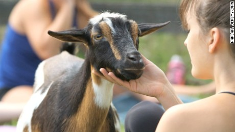 A new trend is spreading across the US: goat yoga. Yes, people are doing yoga with goats. A Berryville, VA goat farmer has dozens of yoga enthusiasts coming to her farm every Saturday to do yoga with goats.