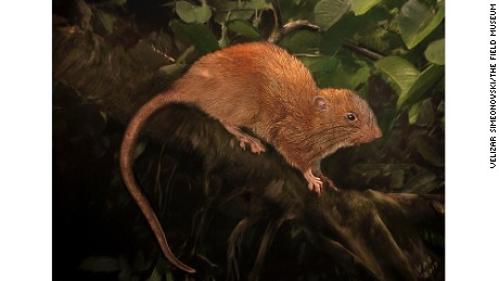 "An illustration of the newly discovered giant tree rat, Uromys vika, known by the locals as ""vika."""