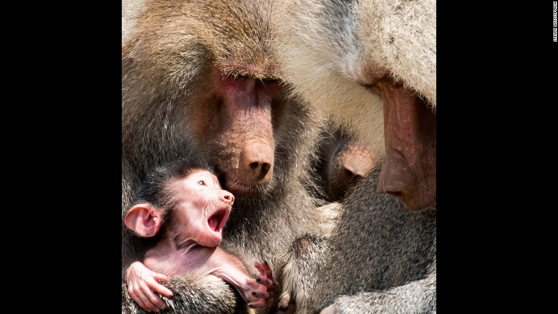 A baby baboon named Kito clings to his mother at the Oakland Zoo in California on Wednesday, September 27. Kito is the fourth baby born to his parents, Krista, 21, and Martijn, 16, making Oakland Zoo's 16-strong baboon troupe the largest in the United States.