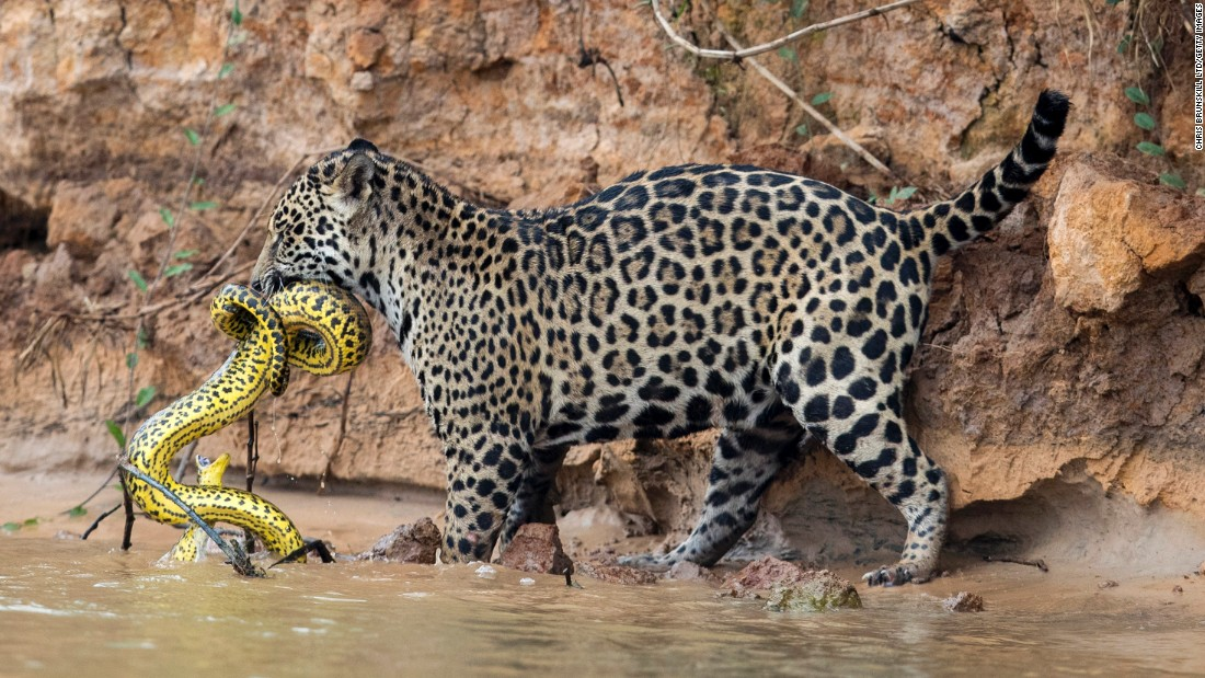 A jaguar kills a yellow anaconda on the Cuiaba River in Mato Grosso, Brazil, on Friday, September 29.