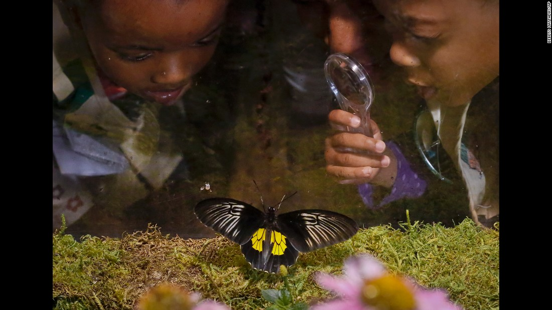Children use magnifiers to view butterflies at the American Museum of Natural History on Wednesday, October 4. The New York museum will feature tropical butterflies through May 28.