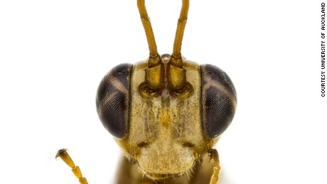 Lusius malfoyi, the non-stinging wasp discovered by Tom Saunders