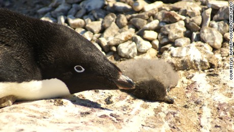 Adélie penguin chicks starved to death in East Antarctica in January