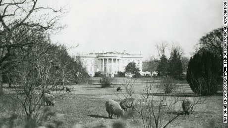 President Woodrow Wilson's sheep are seen grazing on the South Lawn. Instead of using groundskeepers to cut the grass, the sheep grazed on the White House lawns. The flock grew to 48 at its peak. The wool sheared from the sheep was sold at auction to raise money for the Red Cross.