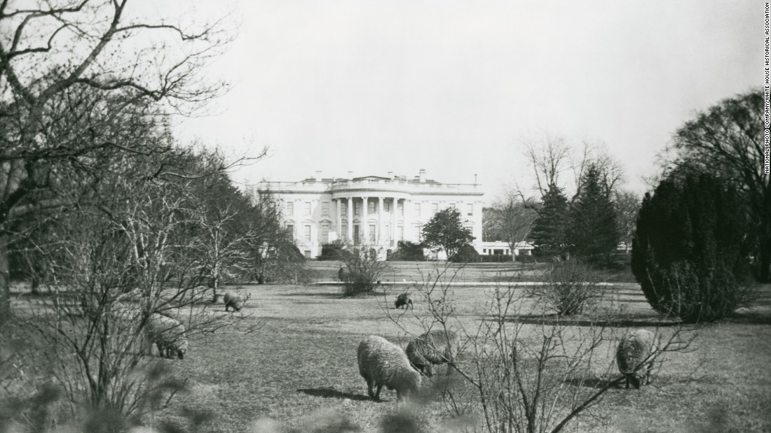 President Woodrow Wilson's sheep are seen grazing on the South Lawn. Instead of using groundskeepers to cut the grass, the sheep grazed on the White House lawns.