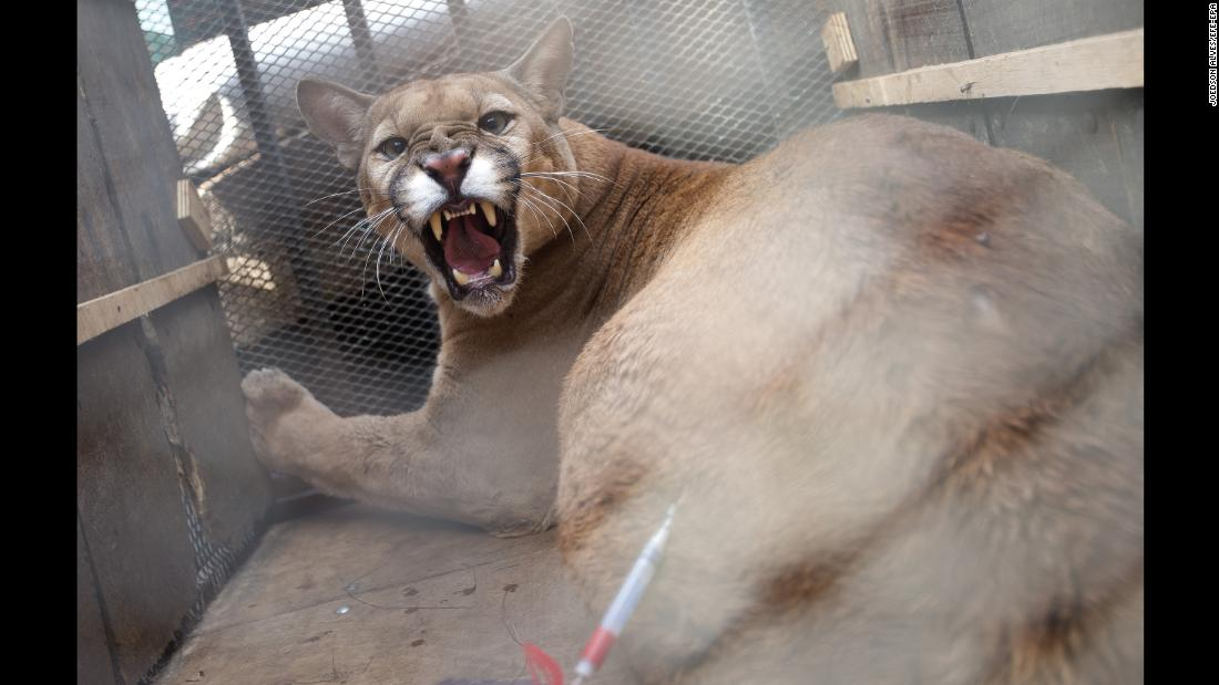 A puma named Bordo arrives for medical tests in Brasilia, Brazil, on Tuesday, October 31. Bordo, captured when he was a cub, was set to be released in a special preserve for wild cats.