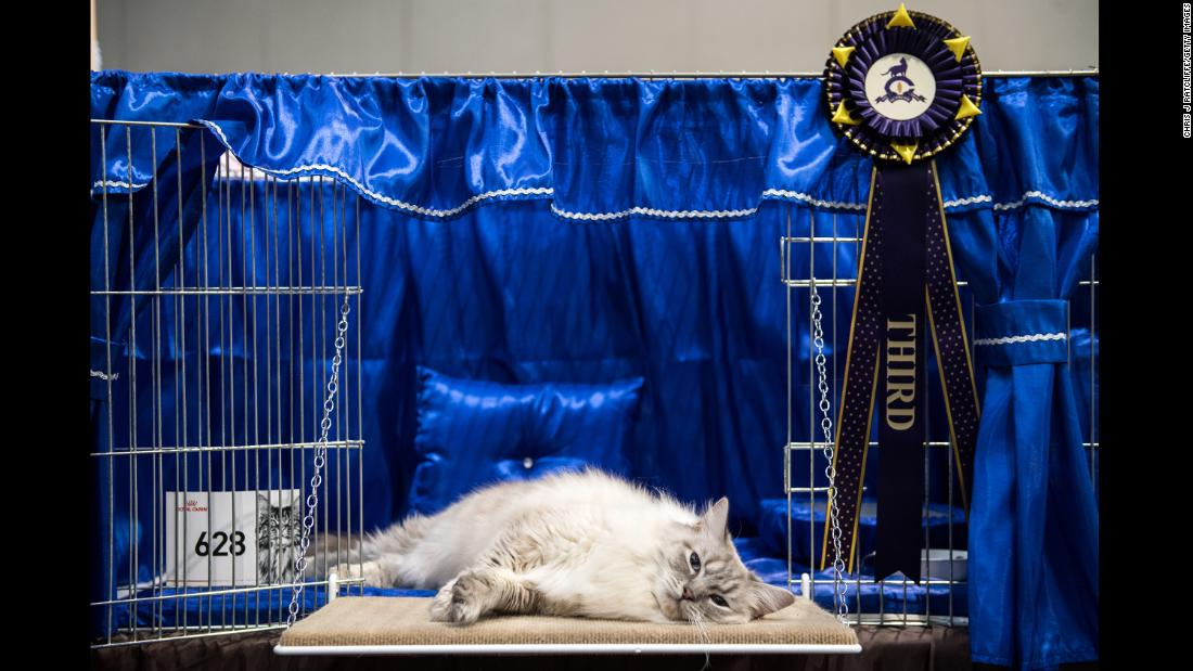 A cat lies in its cage after being judged at the Supreme Cat Show in Birmingham, England, on Saturday, October 28.