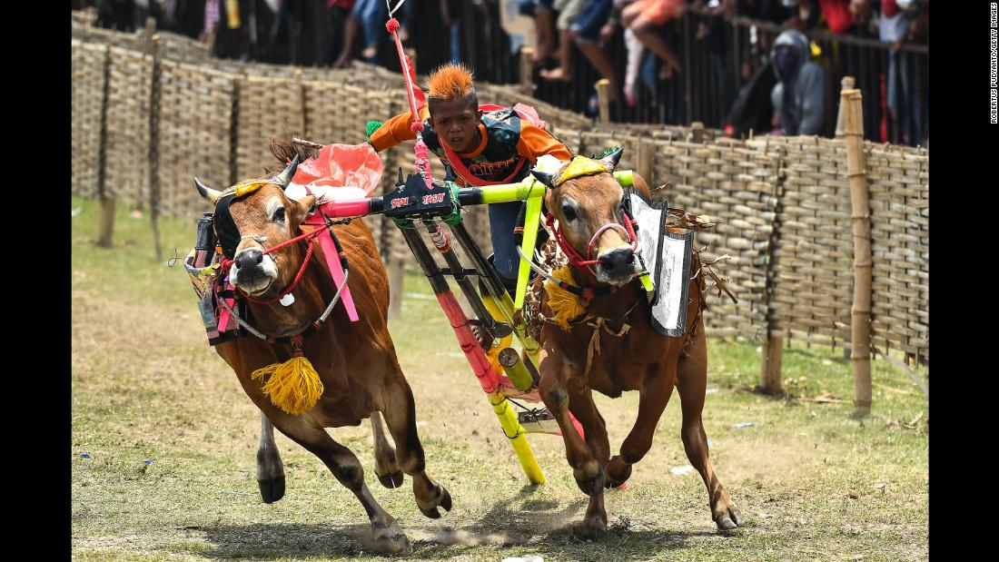 A jockey spurs on his bulls during a race in Madura, Indonesia, on Sunday, October 29.