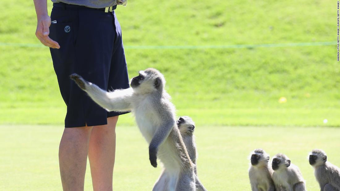 The primates took a shine to the 41-year-old, who has won 12 European Tour events.