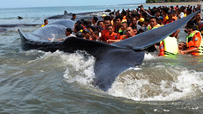 Battle to save beached sperm whales