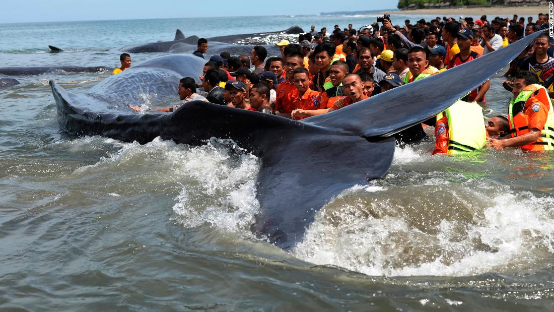 Rescuers save six beached sperm whales in Indonesia