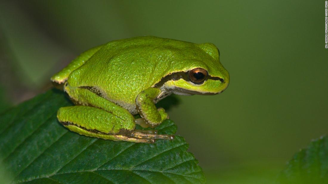 "Pacific tree frogs tend to show a slight left-handed preference and jump left when predators threaten, <a href=""http://www.sfu.ca/biology/faculty/dill/publications/frog.pdf"" target=""_blank"">studies show. </a>"