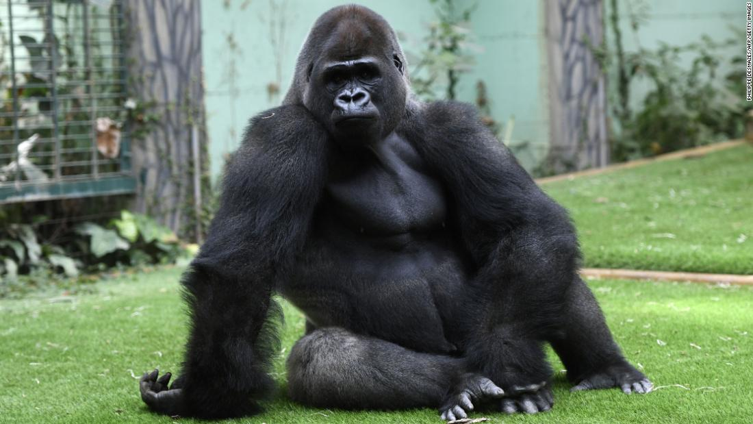 "Gorillas tend to be righties; when <a href=""https://www.ncbi.nlm.nih.gov/pmc/articles/PMC3068228/"" target=""_blank"">tested</a> with a tube with peanut butter inside, they reached more often with their right hands."