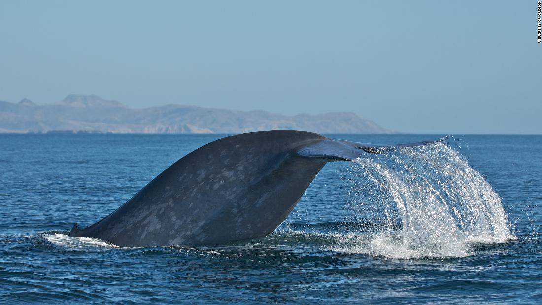 "Blue whales tend to be ""right-handed,"" according to a new study that observed their feeding behavior."