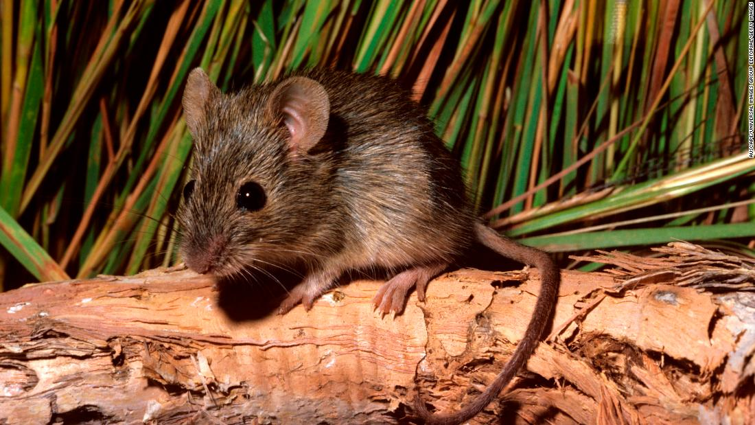 The Western chestnut mouse, a nocturnal animal that weighs just a couple of ounces in adulthood, can be found in grasslands and on sandy soils.