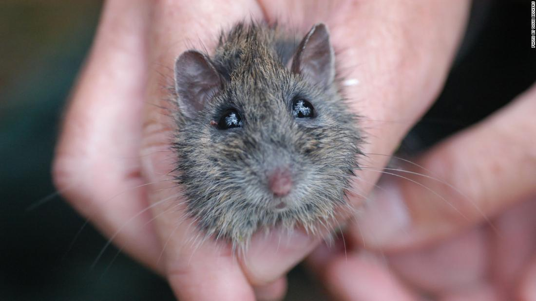 The Hastings River mouse is rat-size in adulthood. This nocturnal rodent lives in upland forests.