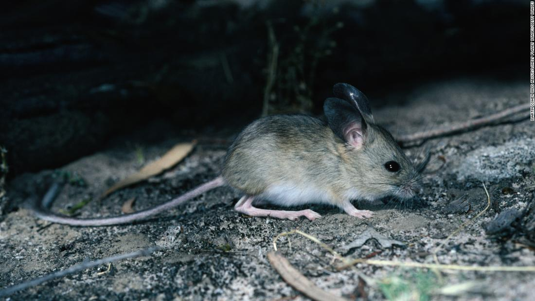 The fawn hopping mouse, which inhabits the arid Australian outback, has elongated hind legs and feet, allowing it to hop rapidly.
